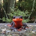 Red Bellied Newt