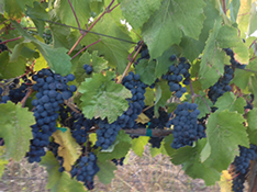 Cabernet Fruit