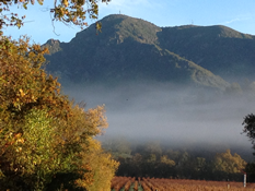 Vineyard Fog